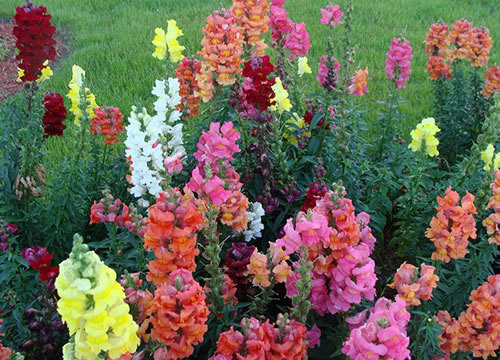 plantas para jardim muito sol:Snapdragon Flowers