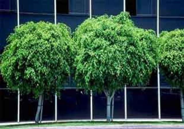 árvore-sombra-crescimento-rápido