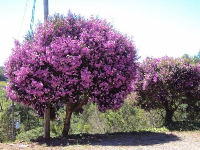 arvore manaca jardim:Árvores para sombra de crescimento rápido