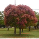 árvore-sombra-crescimento-rapido