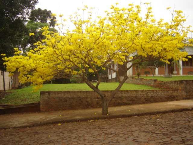 arvore manaca jardim:Fotos de árvores para calçada de pequeno porte