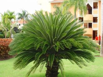 coqueiro-para-jardim