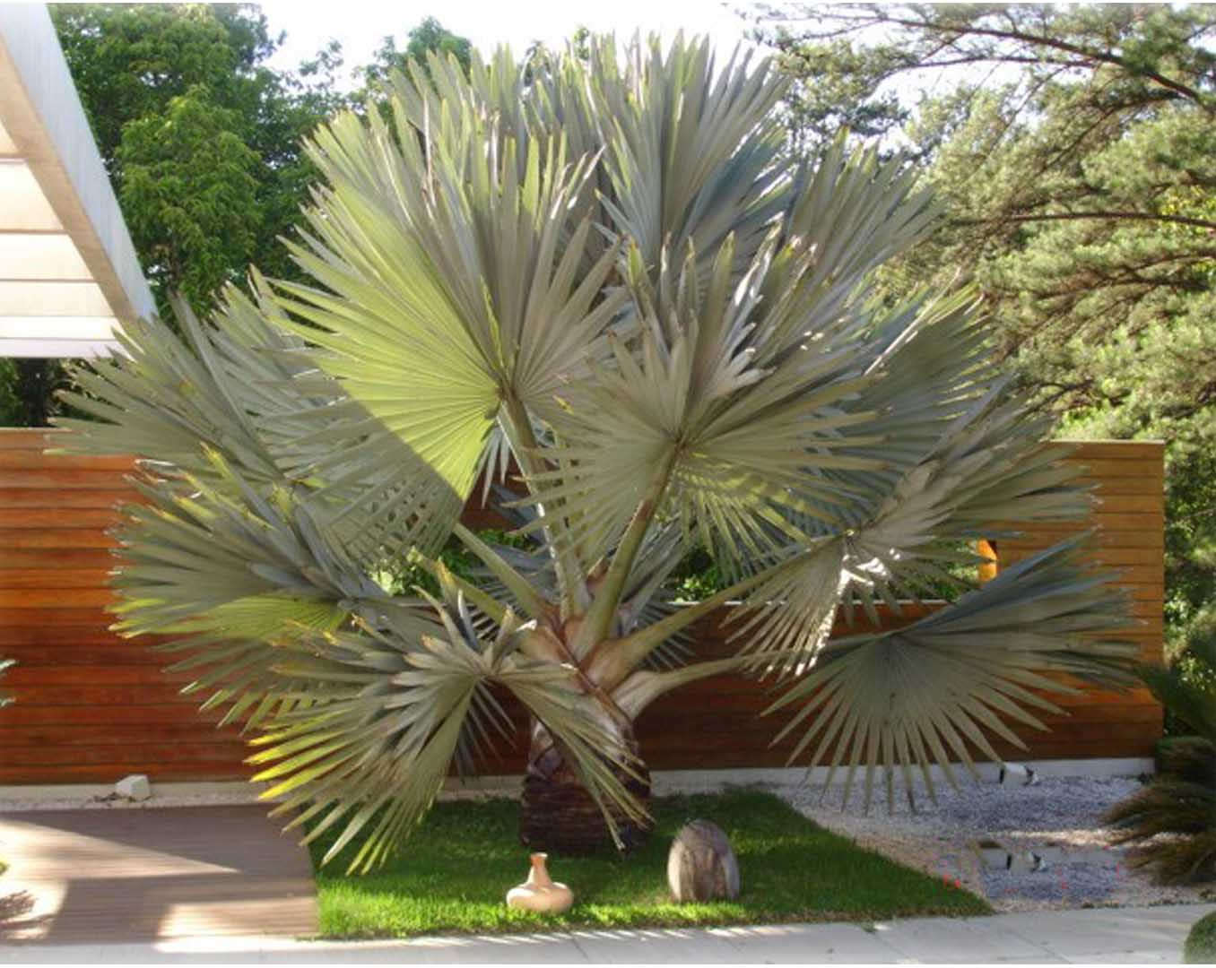 flores e jardins fotos:Fotos de coqueiros para jardins grandes e pequenos