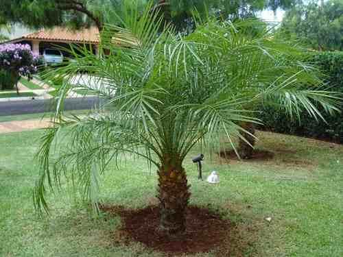 Fotos de coqueiros para jardins grandes e pequenos  Decorando Casas