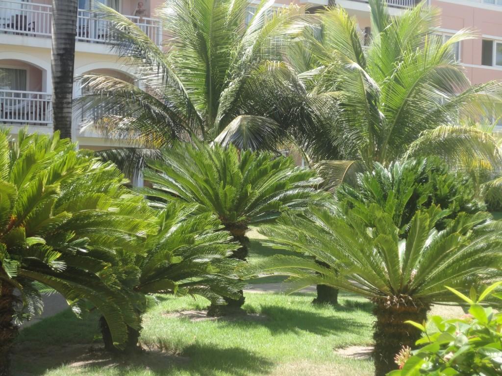 Fotos de coqueiros para jardins grandes e pequenos ...