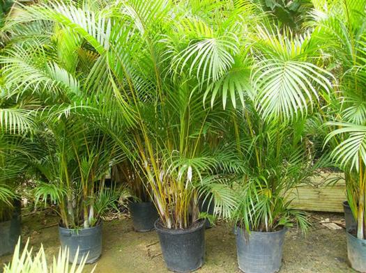 imagens jardins grandes : imagens jardins grandes:Fotos de coqueiros para jardins grandes e pequenos