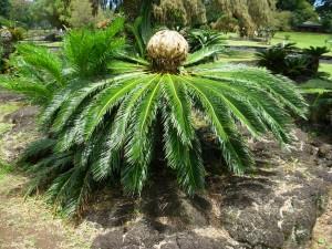 Fotos de coqueiros para jardins grandes e pequenos for Pianta cycas
