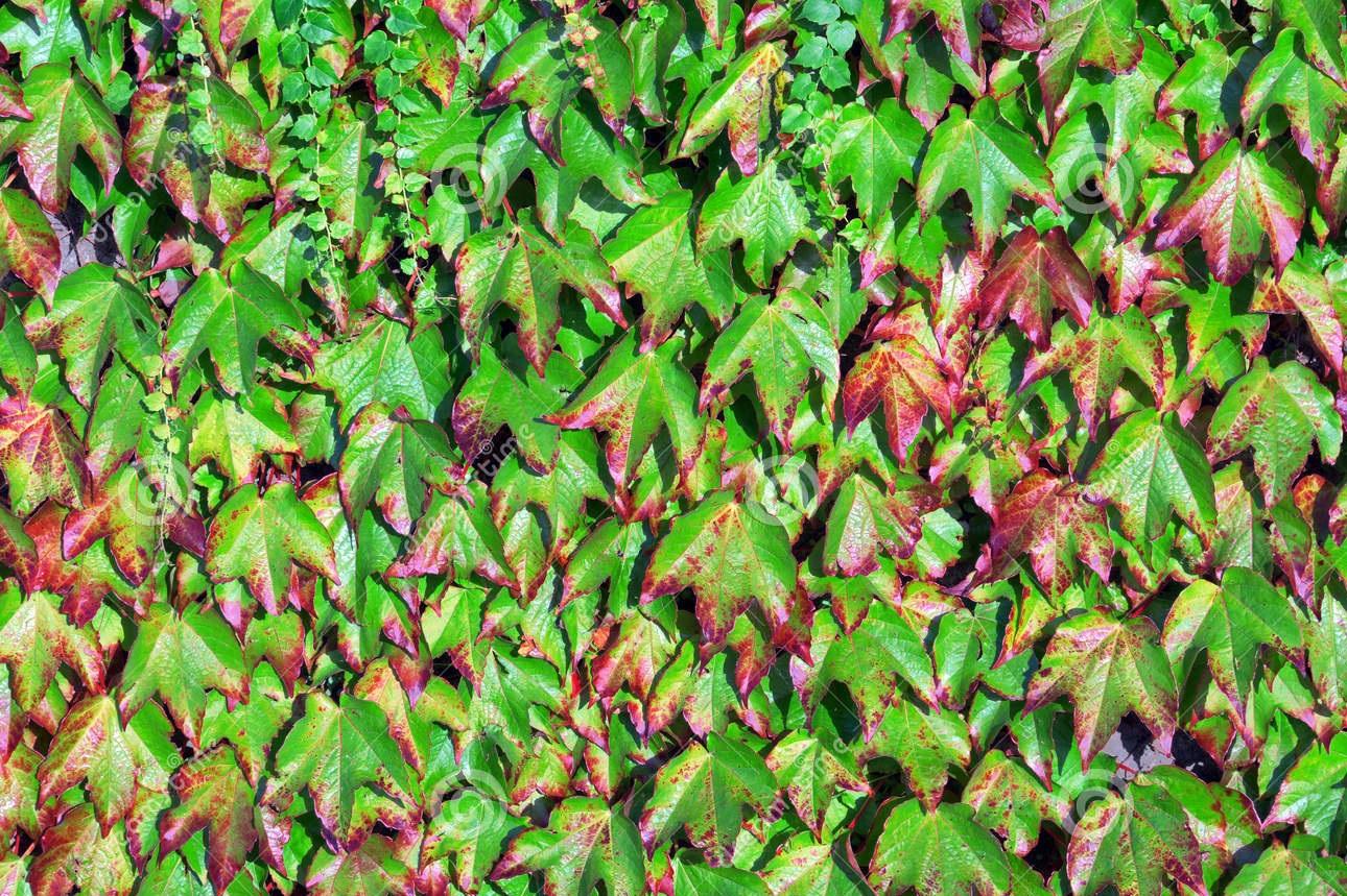 Trepadeira related keywords suggestions trepadeira - Plantas trepadoras para muros ...