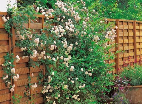 Plantas trepadeiras de parede e muro decorando casas - Cercas para jardines ...
