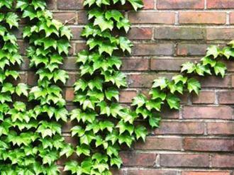Plantas trepadeiras de parede e muro decorando casas for Plantas trepadoras para muros