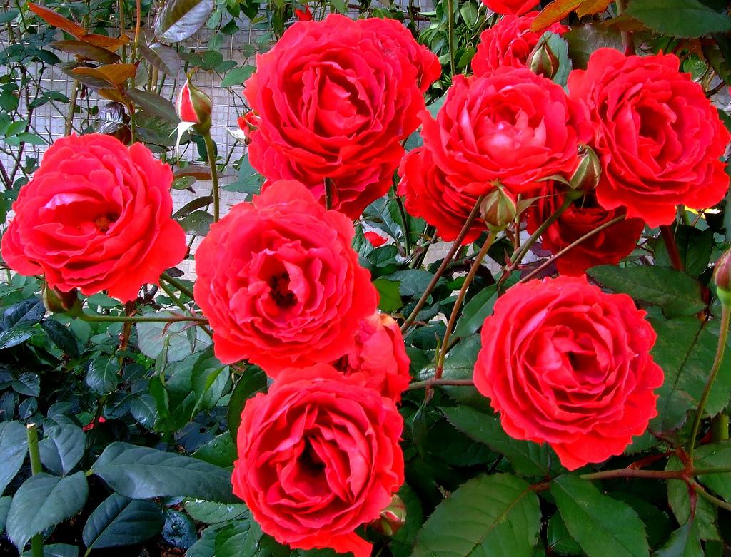 flores e jardins fotos:Flores De Rosas