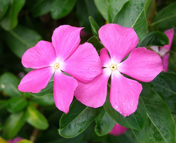 flores jardim de sol : flores jardim de sol:flores-jardim-simples-pequeno