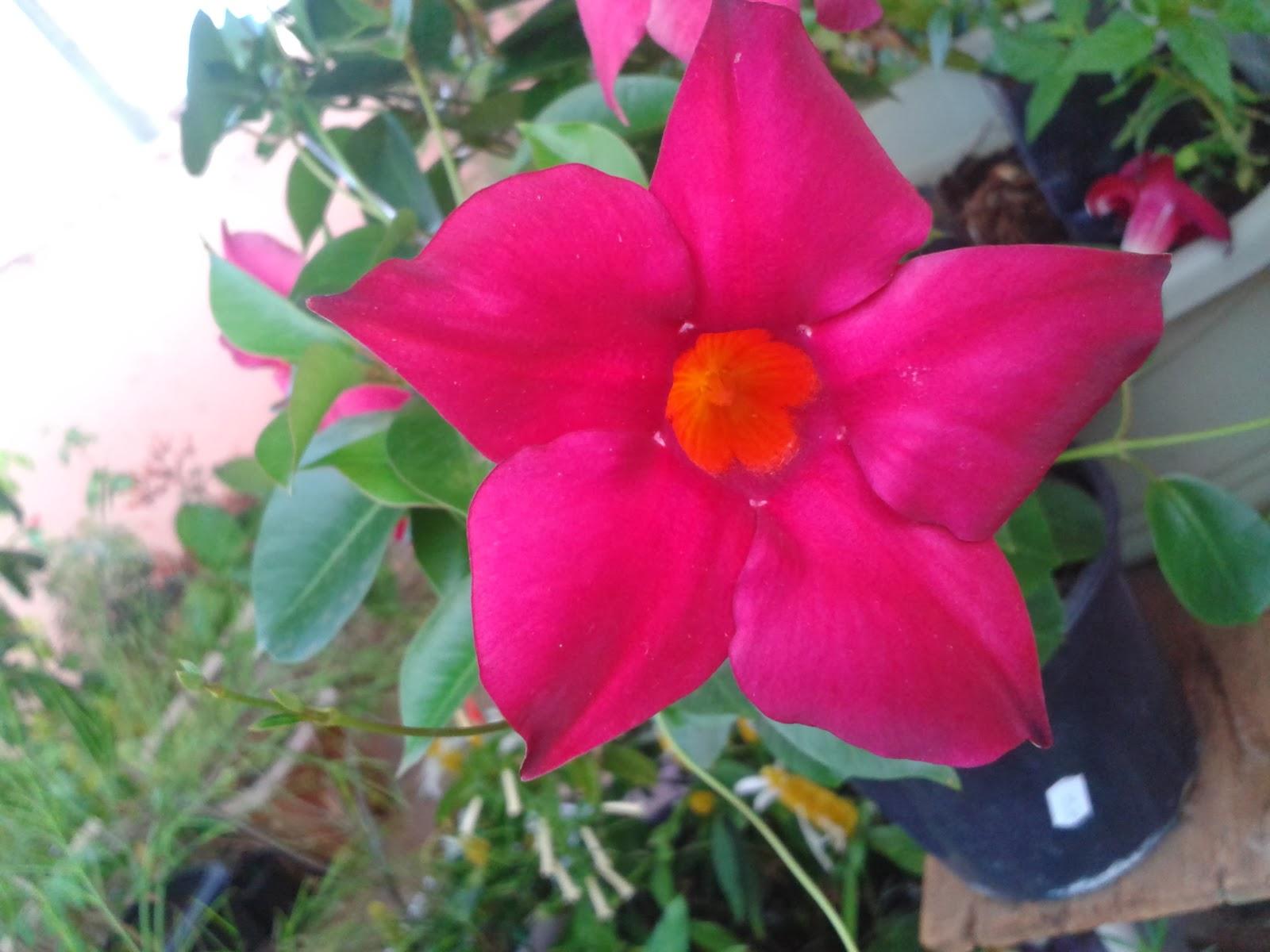 flores jardim pequeno:Flores para jardim simples e pequeno