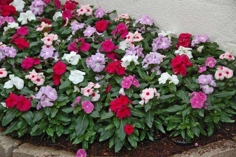 flores jardim de sol:Flores perenes para jardim externo