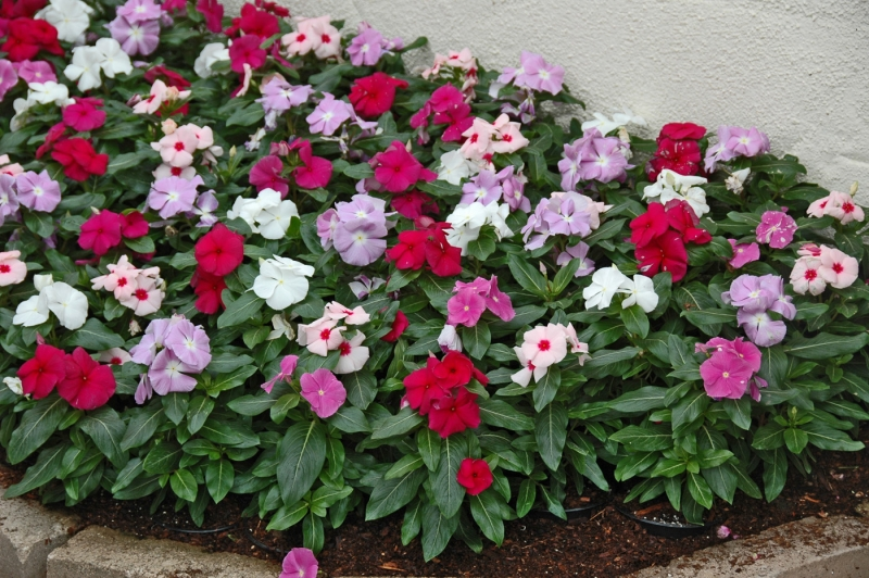 flores jardim externo:Flores perenes para jardim externo