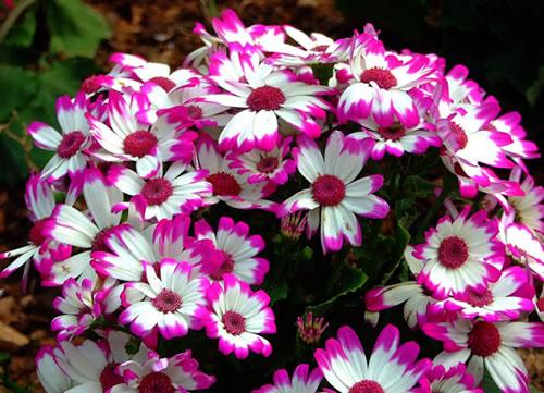 flores jardim perenes : flores jardim perenes:Flores perenes para jardim externo