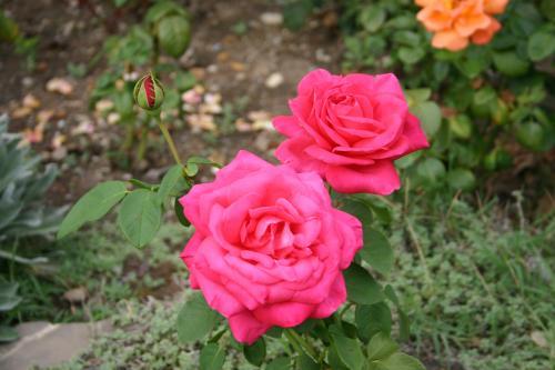 flores jardim de sol : flores jardim de sol:Flores resistentes para jardim externo flores-resistentes-jardim