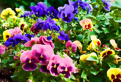 flores jardim externo:Fall Flower Garden Pansies