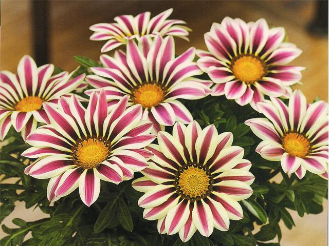Flores para jardim que florescem o ano todo  Decorando Casas