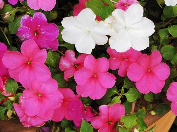 flores para jardim o ano todoFlores para jardim que florescem o ano