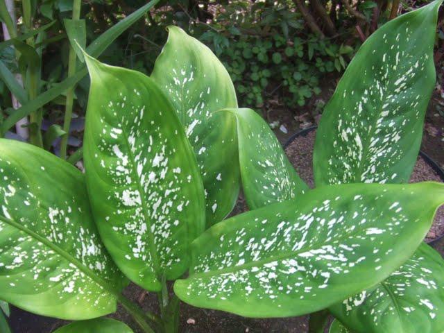 plantas toxicas jardim:Nomes de plantas para jardim