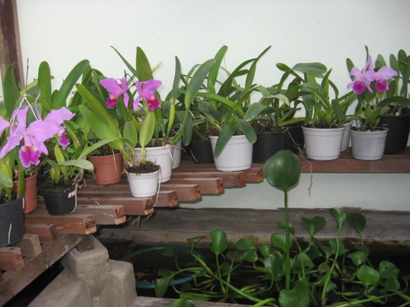 Como-irrigar-as-orquídeas?
