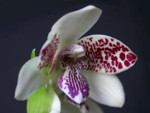 Orquídeas-Brasileiras