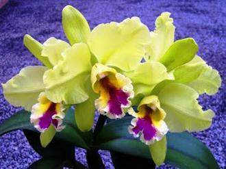 espécies-orquídeas-nomes-fotos