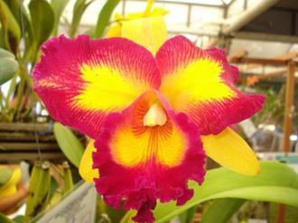 flor-orquidea