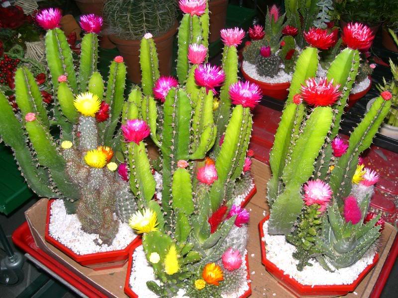 mini jardim de cactus:Espécies de cactos ornamentais e seus nomes