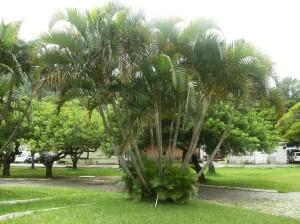 jardim-com-palmeira-areca