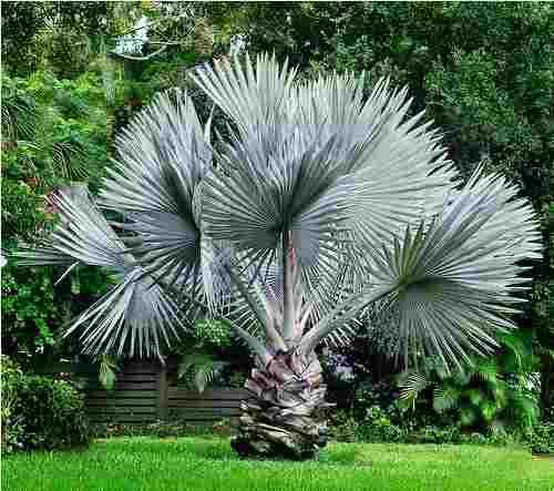 jardim-com-palmeira-azul