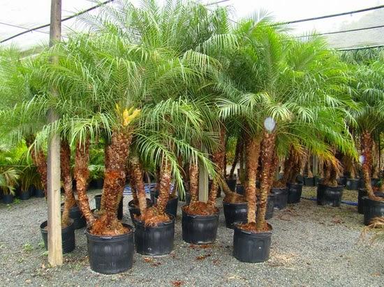 paisagismo-jardinagem-com-palmeiras
