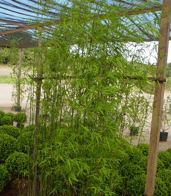 Dicas de paisagismo e jardinagem com bambu decorando casas - Tipos de bambu ...