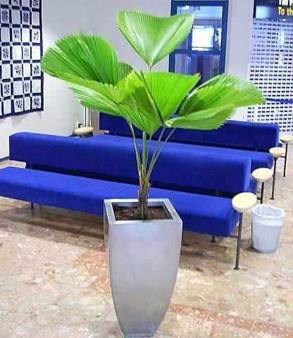 Licuala-planta