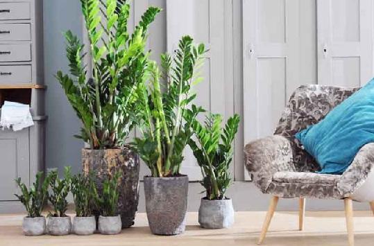 planta-Zamioculcas