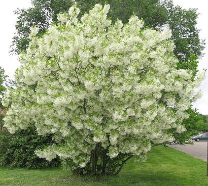 Espécies-de-árvores-pequenas-para-jardim