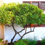 Árvores-de-pequeno-porte-para-jardim