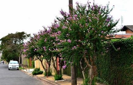 árvores-para-plantar-em-calçadas