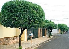 Árvores pequenas para calçada