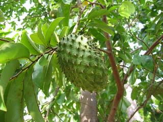 Árvores frutíferas de crescimento rápido