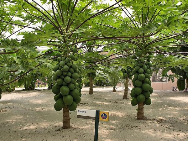 arvores-frutiferas-de-crescimento-rapido