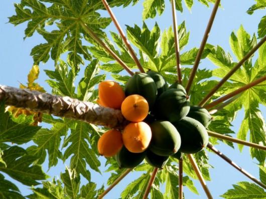 Árvores-frutíferas-de-crescimento-rápido