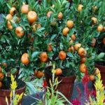 Árvores-frutíferas-em-vasos