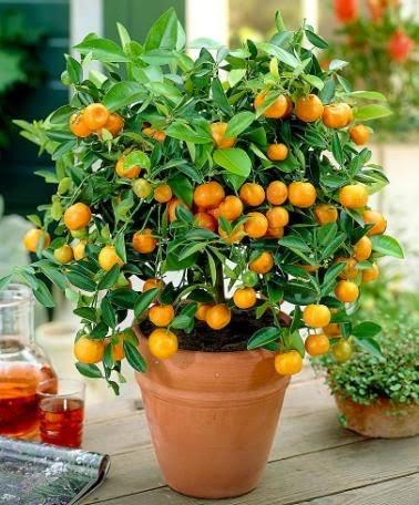 Árvores frutíferas em vasos