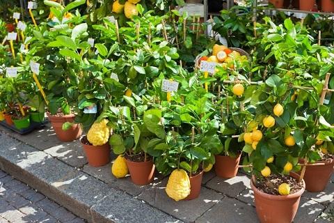 arvores-frutiferas-em-vasos