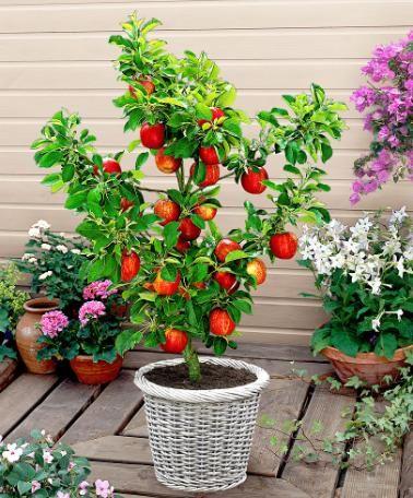 Rvores frut feras em vasos decorando casas for Alberelli ornamentali