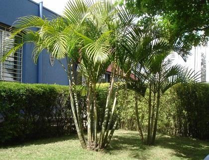 Areca–Bambu