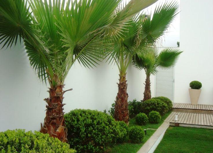 Coqueiros para jardim pequeno  Decorando Casas