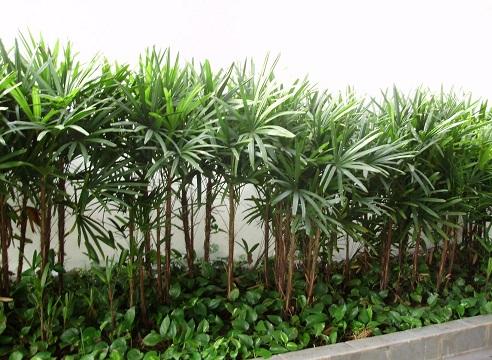 Rápis-palmeira